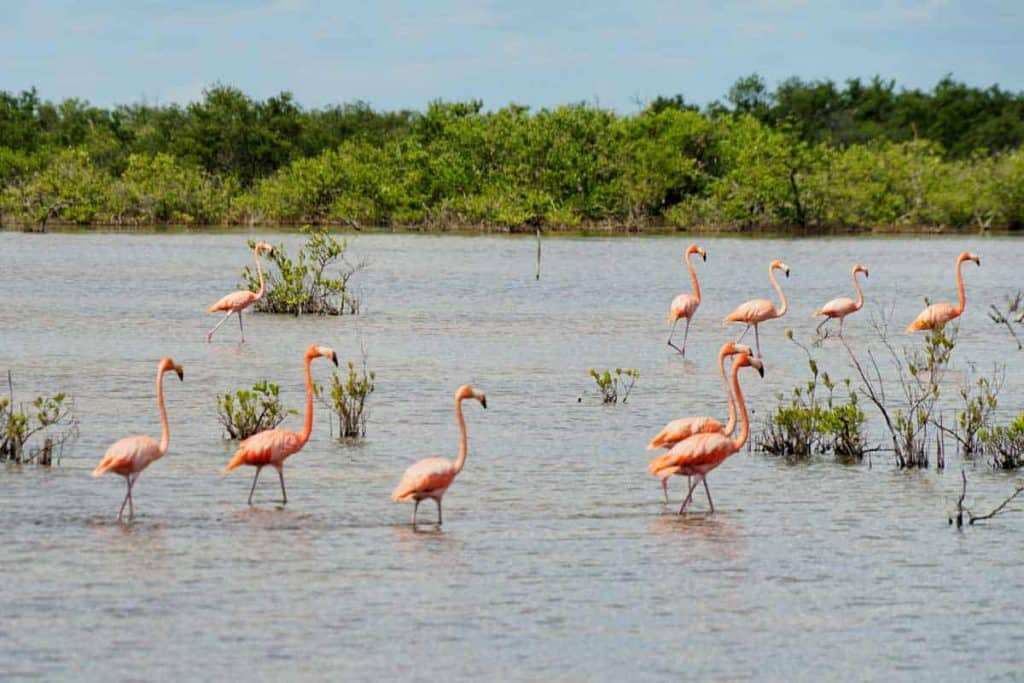 Flamingos in Cienaga de Zapata